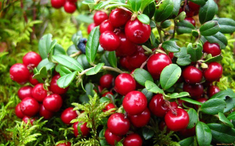 Плоды брусники