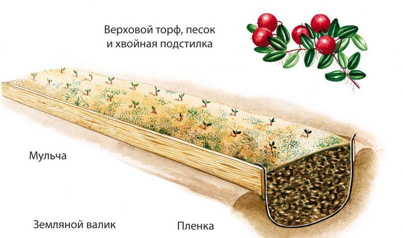Схема посадки брусники
