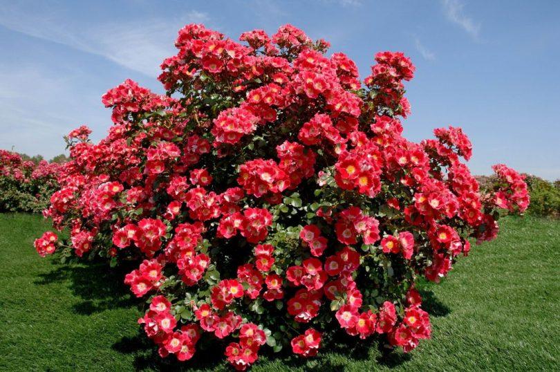 куст розы парковой