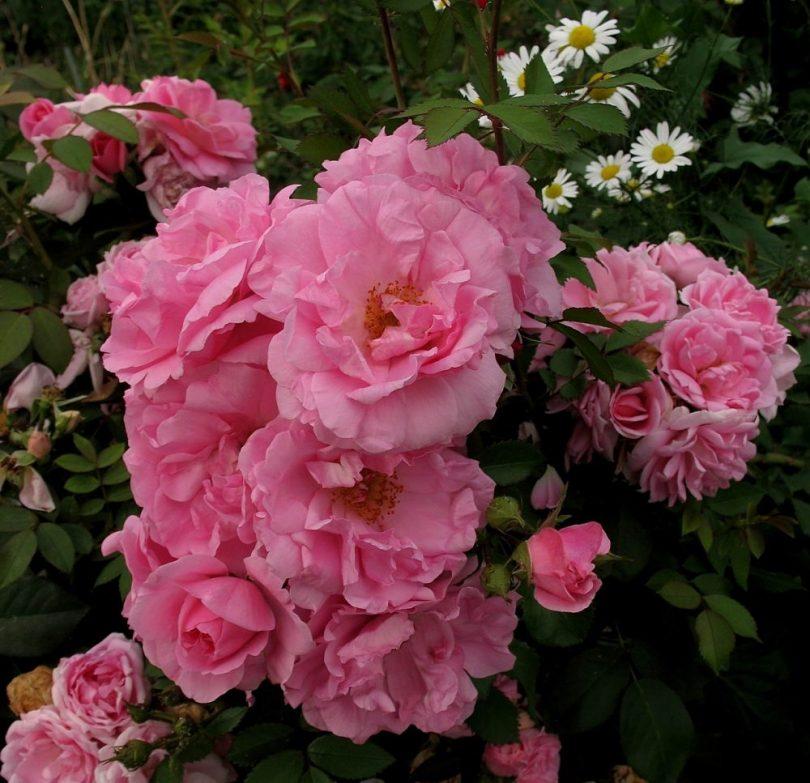 Парковая роза Джон Дэвис