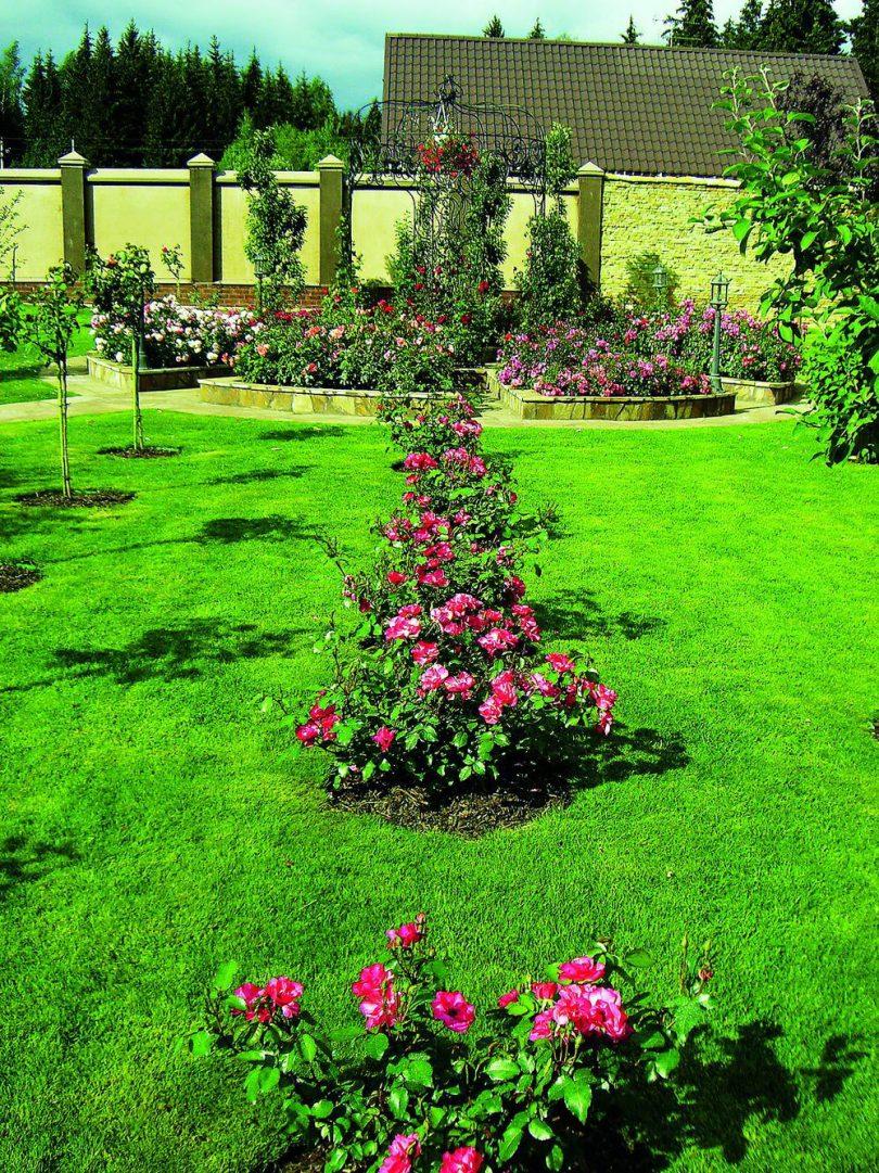 Розы шраб по прямой