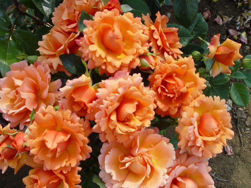 оранжевые шрабы