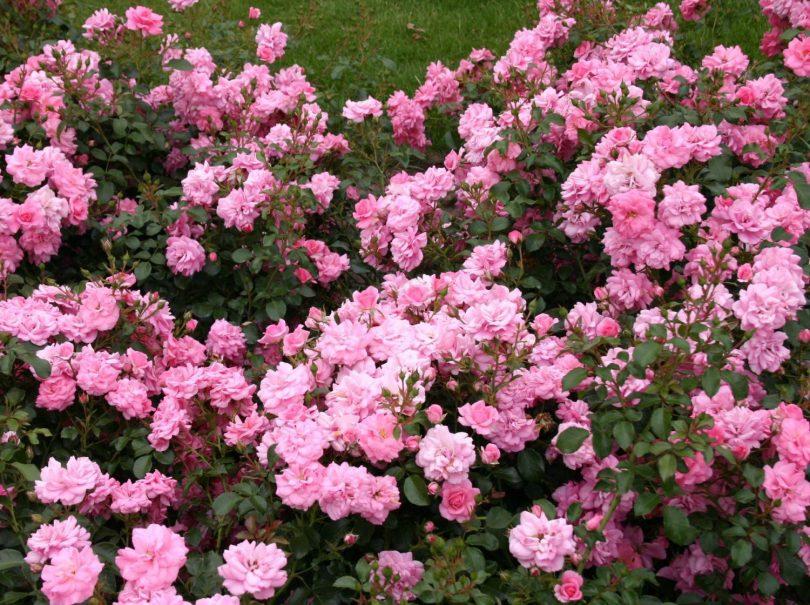 Вьющиеся розы шраб