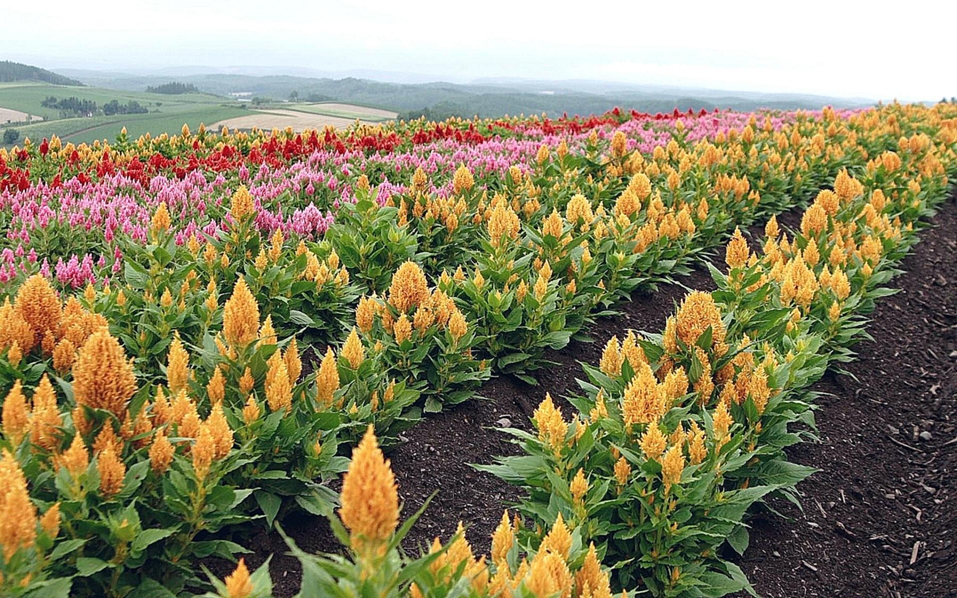 Едельвейс квітка фото
