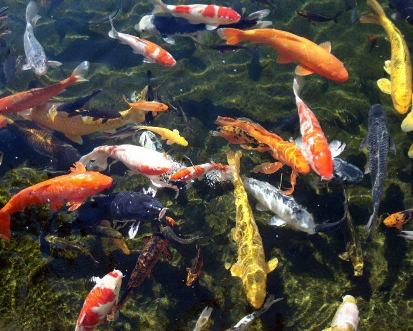 японская рыба
