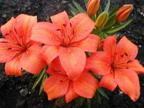 Цветы лилии