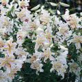 Лилия – «Цветочная царевна»