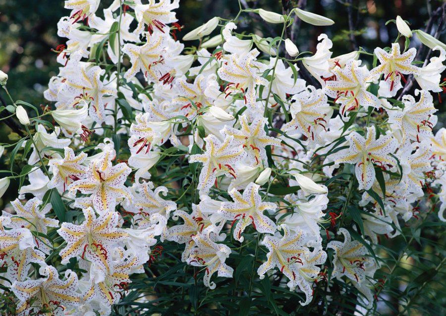 Лилия — «Цветочная царевна»