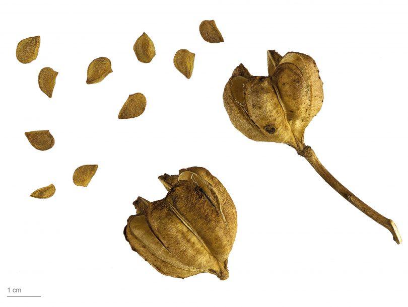 Семена лилий