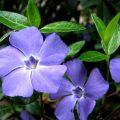 Жизнеустойчивый цветок-барвинок