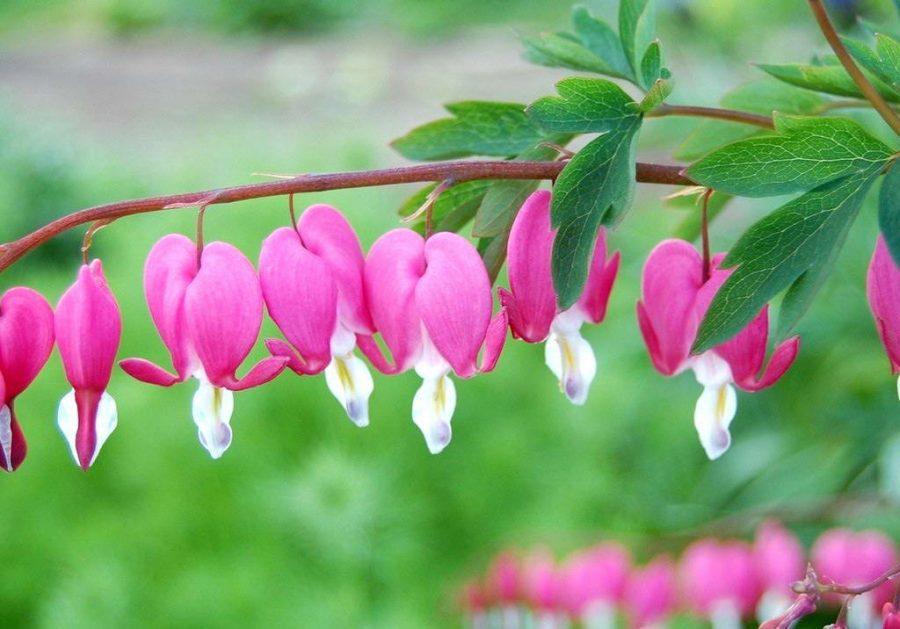 Дицентра или «разбитое сердце» правильный уход и выращивание