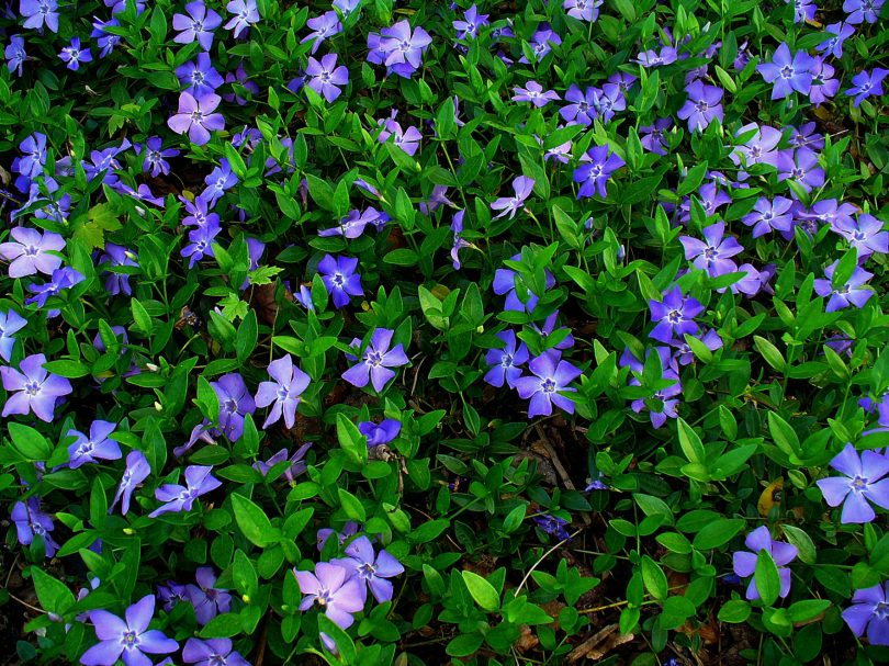цветение барвинок