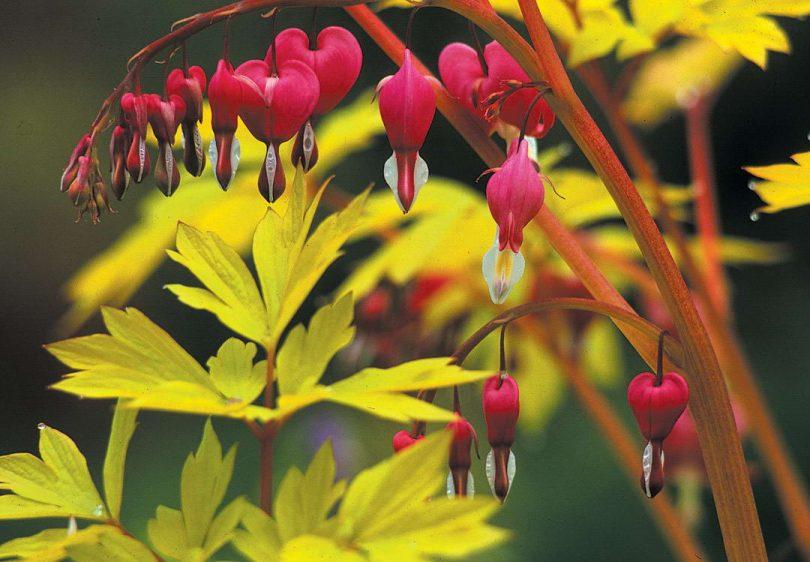 цветы дицентра