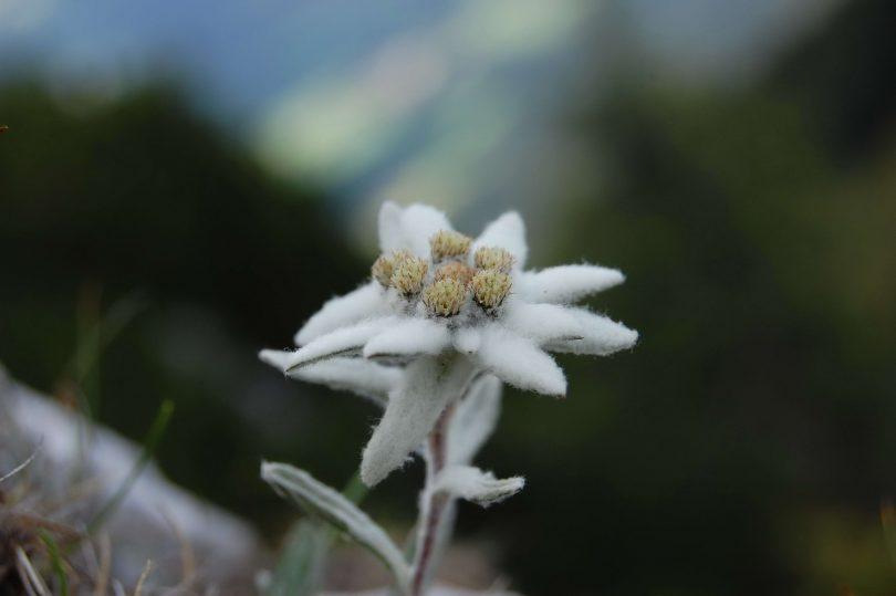 цветок эдельвейс описание