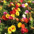 Портулак – сорняк или полезное растение