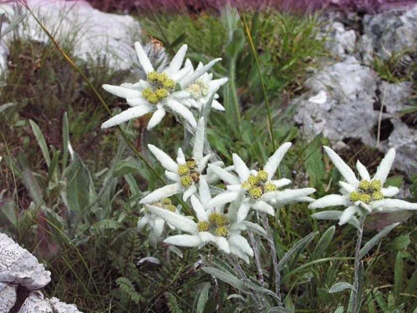 Эдельвейс цветок фото легенда
