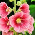 Мальва садовая – радость для дачника