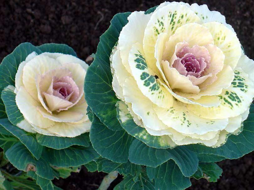 цветок капусты цапля
