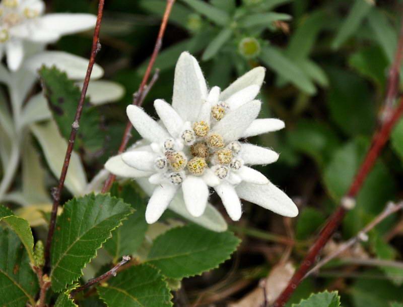 эдельвейс фото цветка
