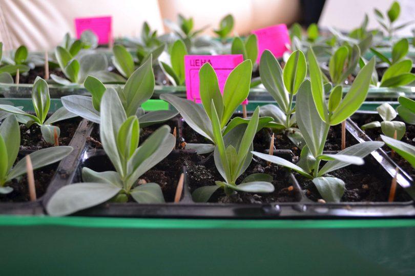лизиантус эустома выращивание