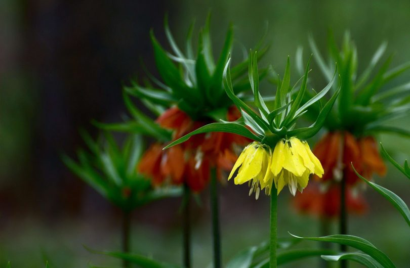 рябчик цветок уход