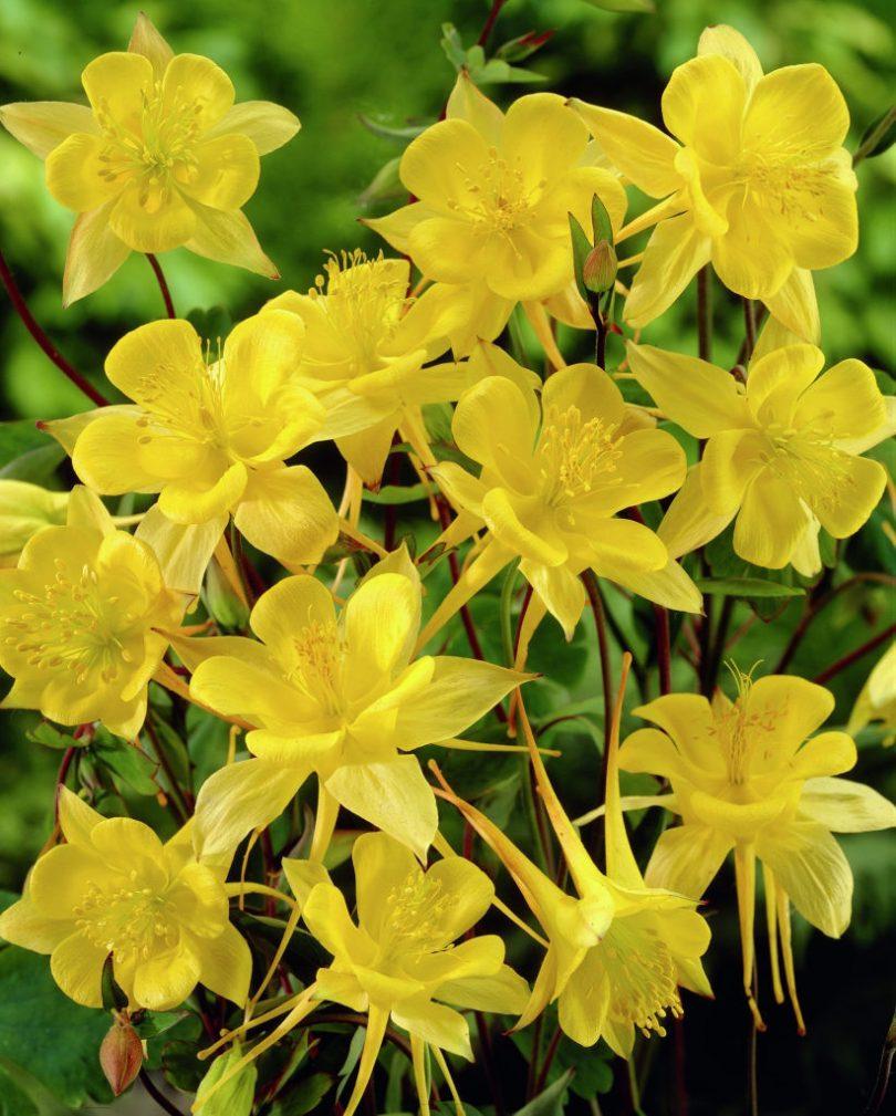 золотистоцветковая аквилегия