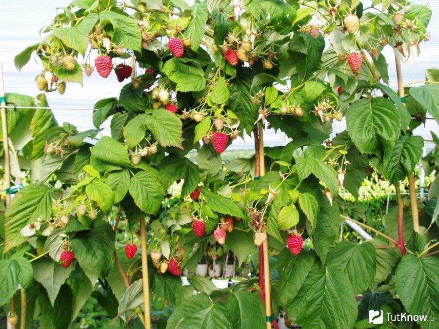 Малина на шпалерах. Как сделать и выращивать