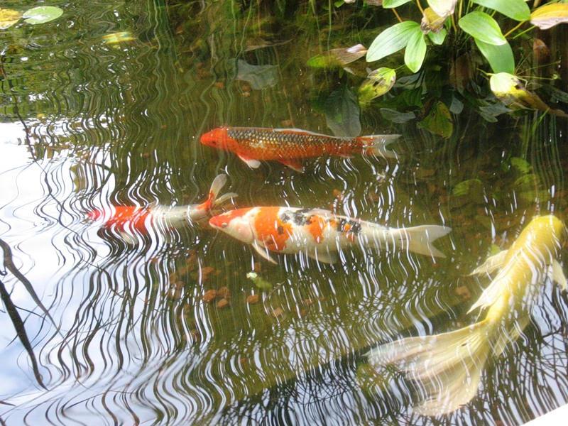 как развести карасей в пруду