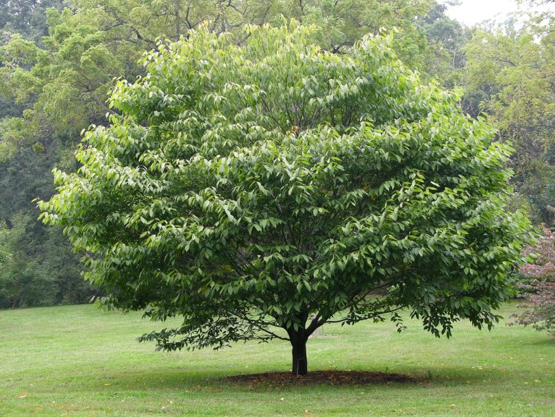 деревья для ландшафтного дизайна лиственные