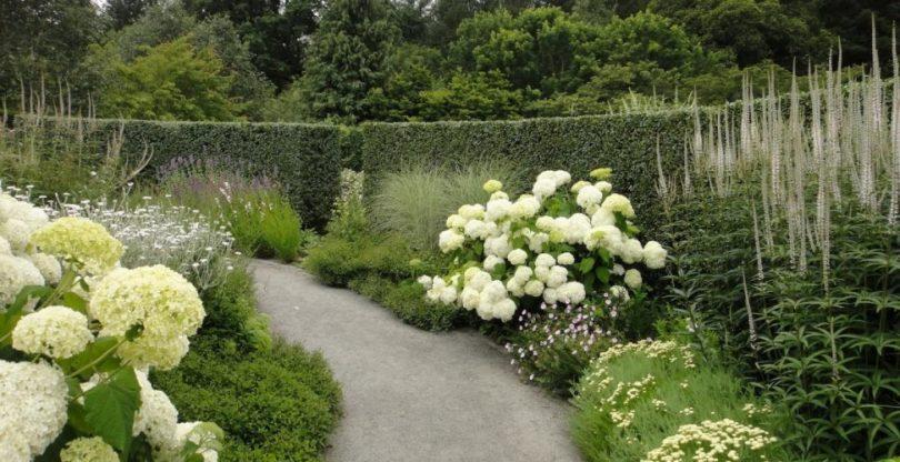 гортензия белый сад