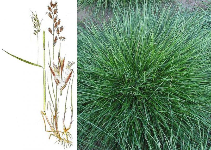 травы для газона