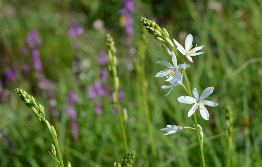 Венечник: прост в уходе и незаменим для цветников