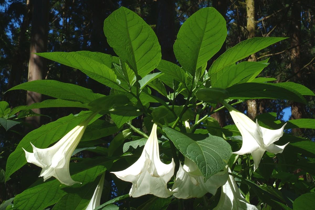 Бругмансия - уход в домашних условиях подсветка и выращивание из семян