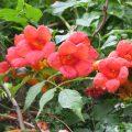 Кампсис – дивная лиана в вашем саду