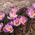 Крокусы — первая цветущая поляна