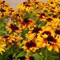 Секреты выращивания рудбекии – яркого солнца в саду