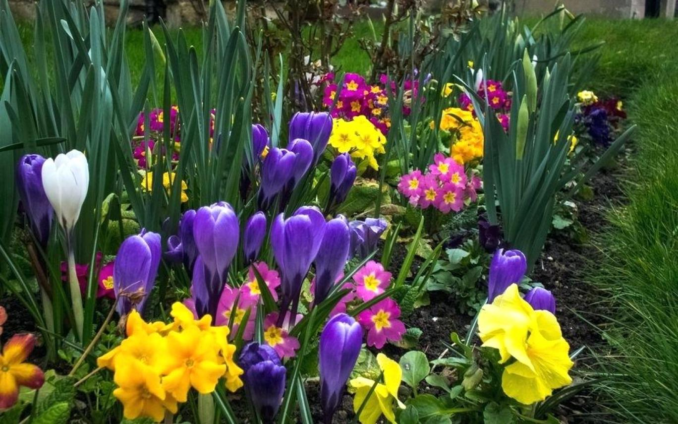 крокусы фото цветов
