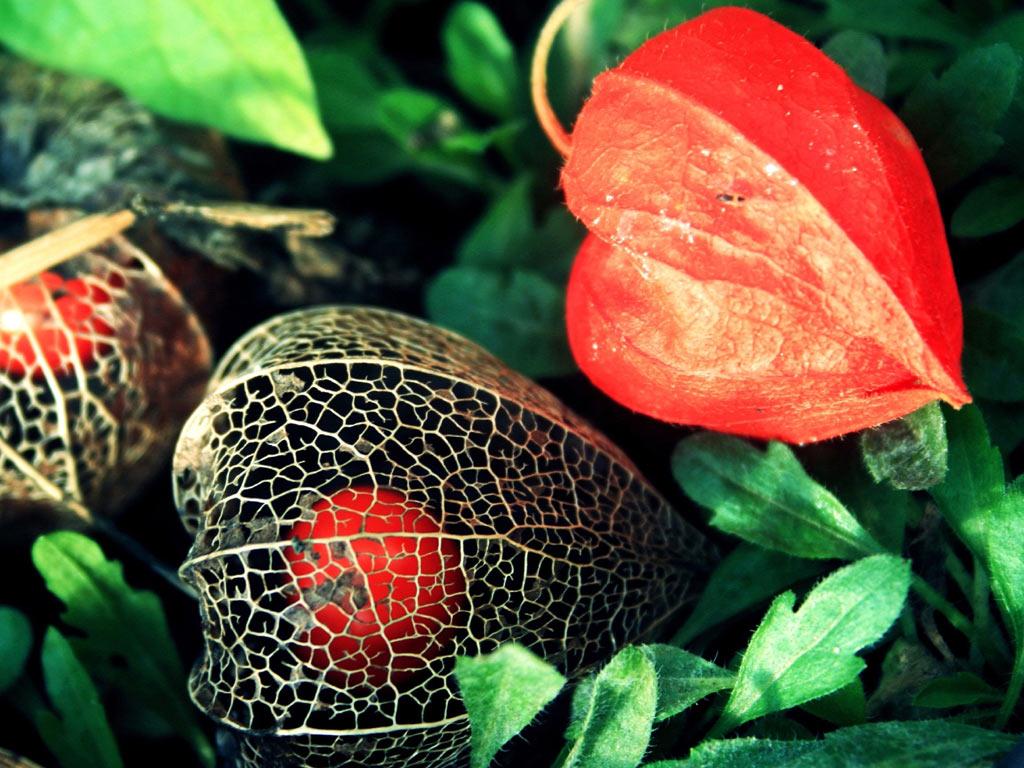 ягода физалис