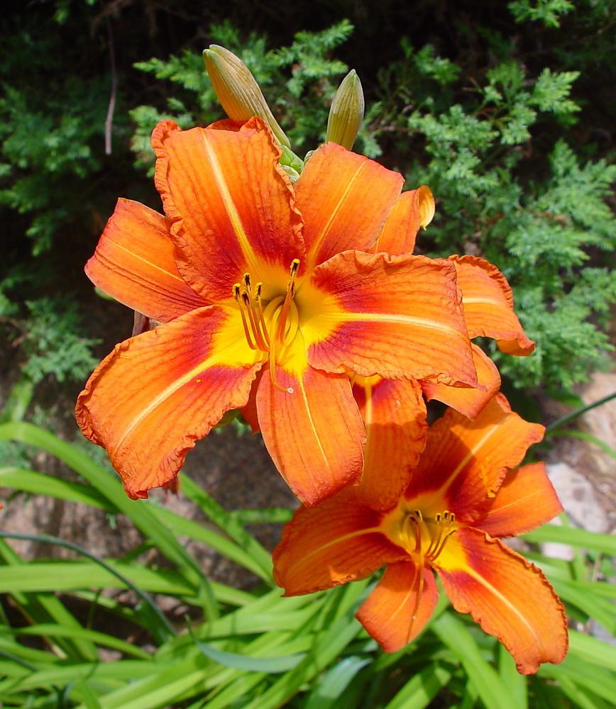 лилейник фото цветов