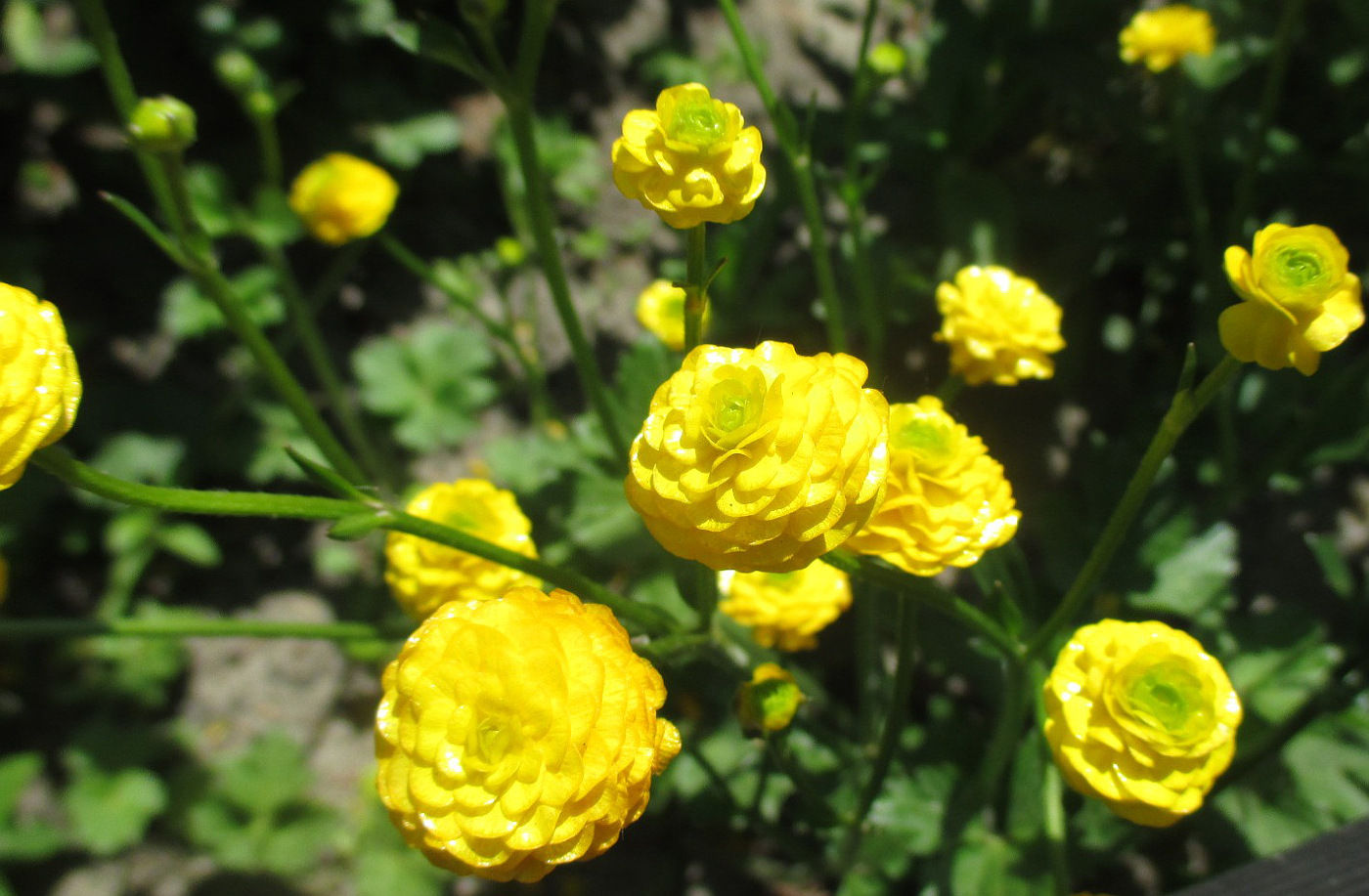 растение лютик