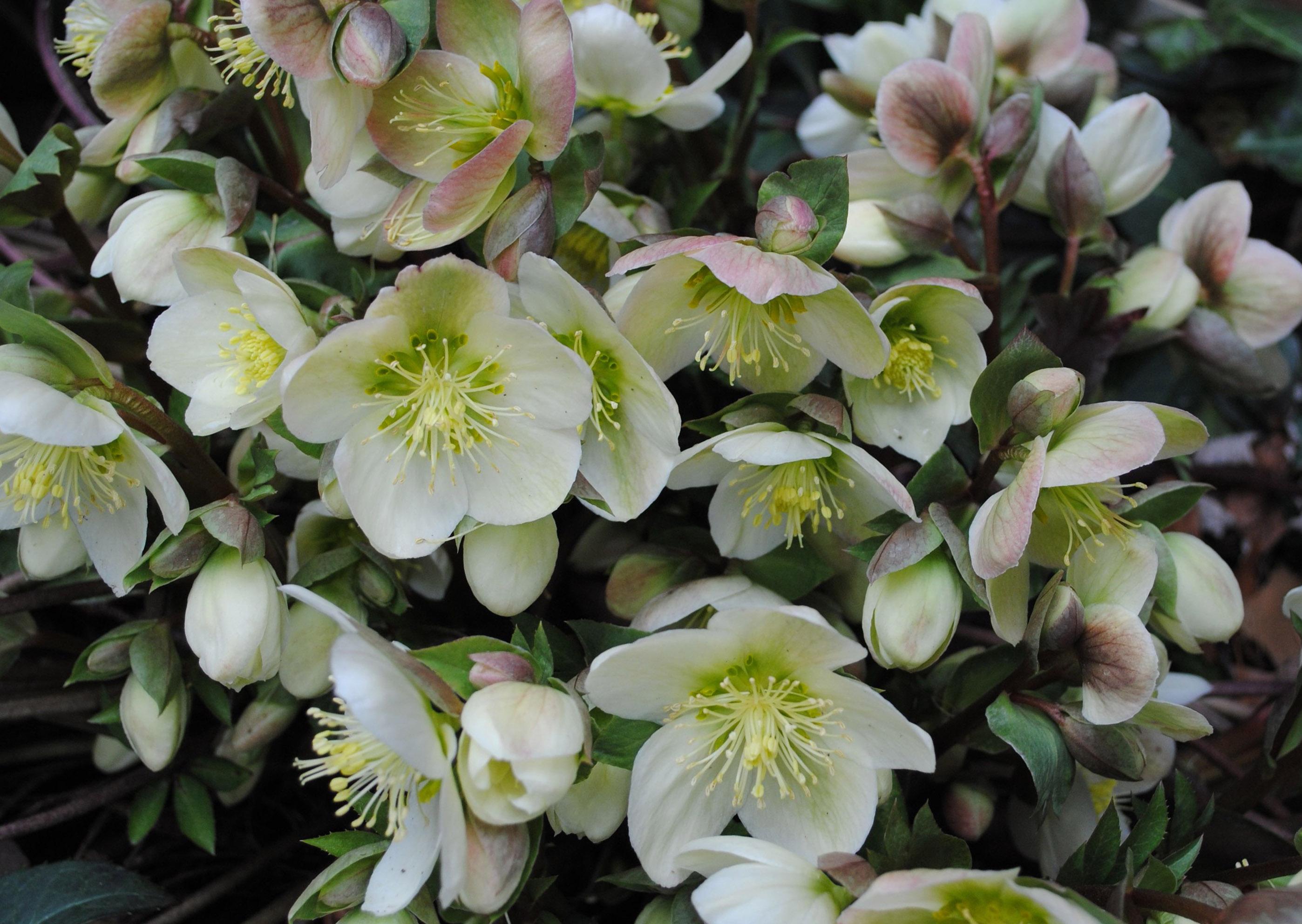 морозник цветок фото
