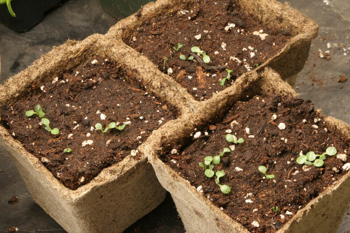 рудбекия семена
