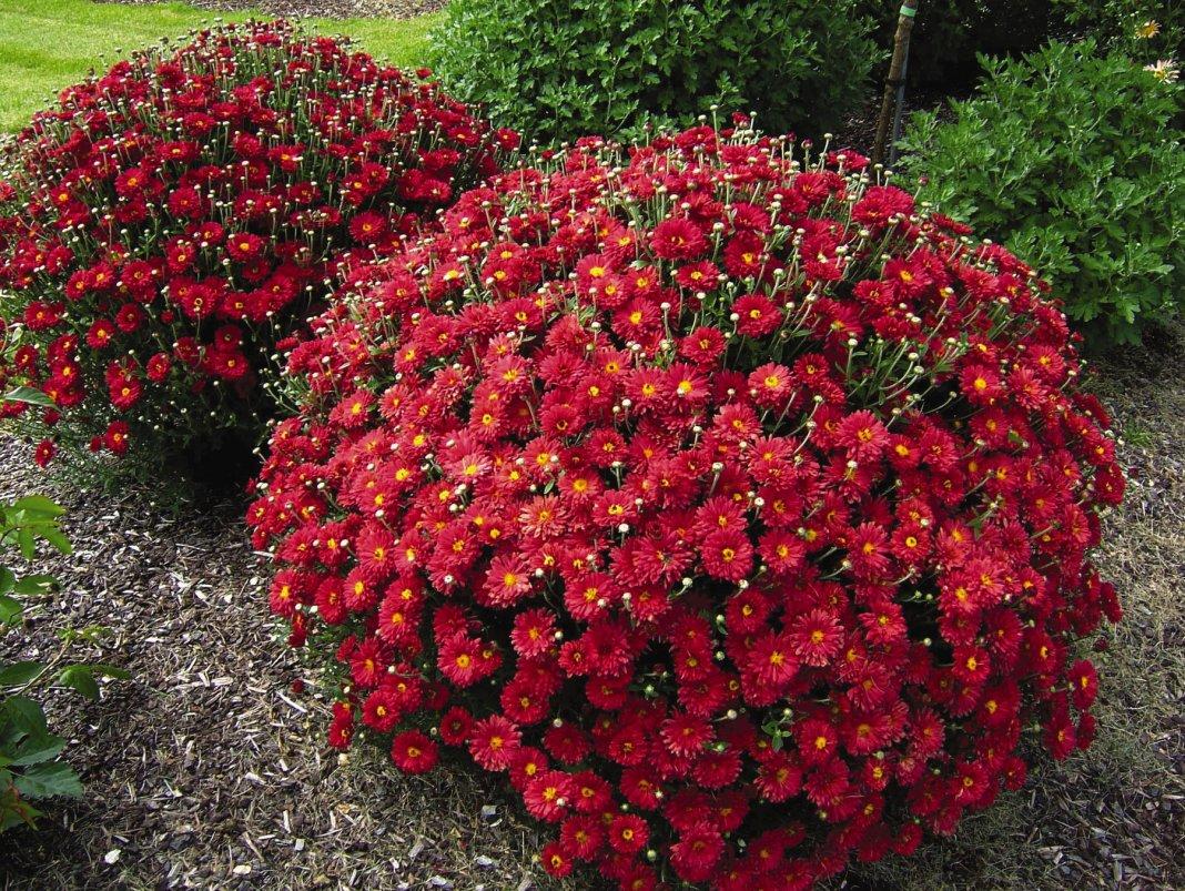 как вырастить хризантему