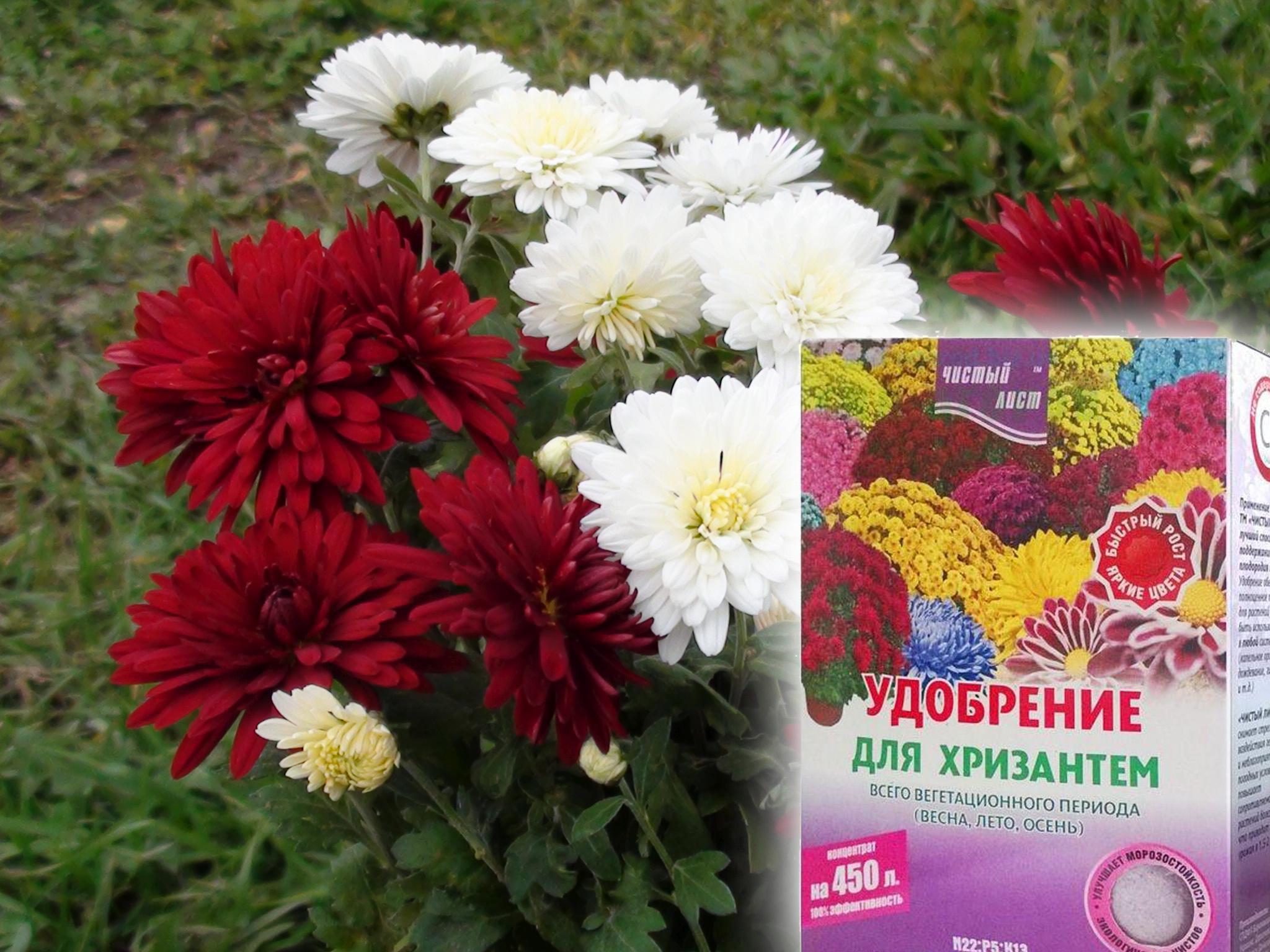 хризантемы садовые уход