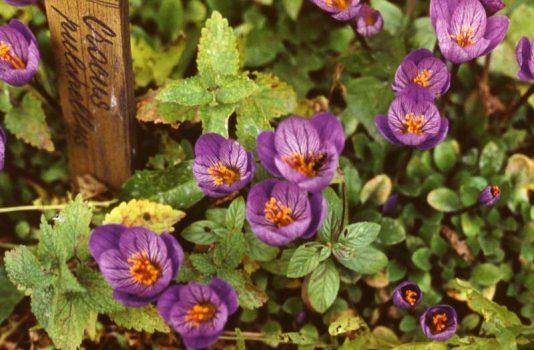 цвет крокус фото
