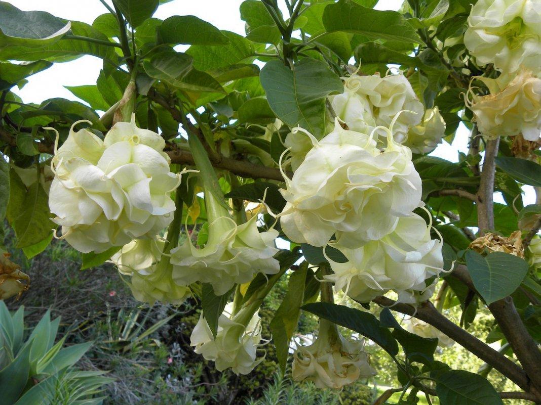 растение бругмансия