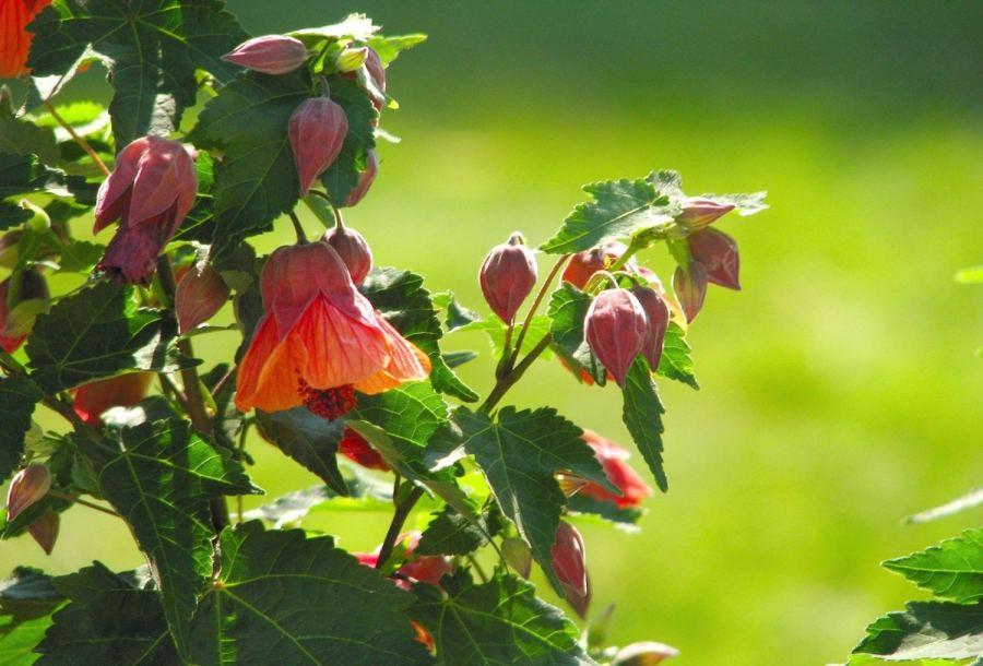 Маленький клён на подоконнике: выращивание абутилона