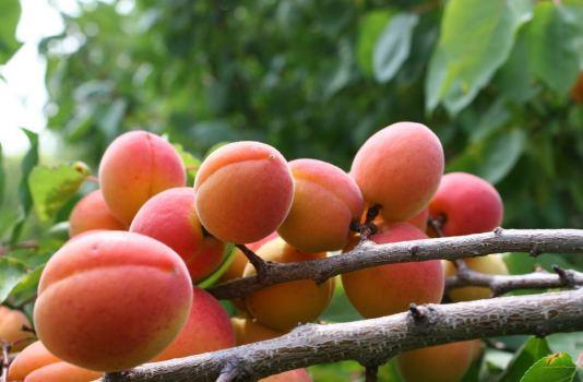 абрикосы уход за деревьями