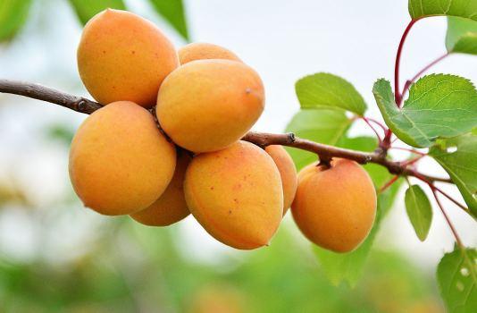 абрикос это фрукт