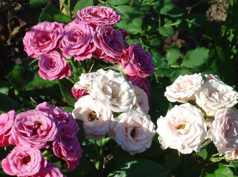 Как выращивать розы флорибунда